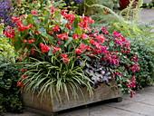 Holzkiste bepflanzt für eine Schatten - Terrasse mit Begonien und Fuchsien