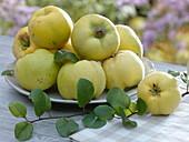 Apfelquitten - Quitten (Cydonia) auf