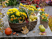 Chrysanthemum Yahou 'Apricot' 'Golden' (Herbstchrysanthemen), Viola
