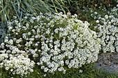 Lobularia 'Snow Princess' (Duftsteinrich) am Beetrand