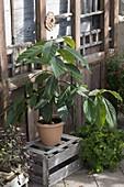 Selbst gezogener kleiner Avocadobaum