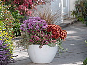Chrysanthemum (Herbstchrysanthemen), Pernettya (Torfmyrte), Abelia