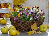 Weidenkorb mit Viola cornuta (Hornveilchen), Quitten (Cydonia), Herbstlaub