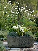 Anemone japonica 'Honorine Jobert' (Herbstanemone), Chrysanthemum