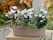 Terrakottakasten mit Cyclamen persicum Halios ' Dhiva White' (Alpenveilchen)