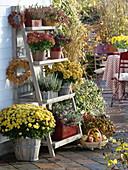 Holzregal mit Chrysanthemum (Herbstchrysanthemen), Calluna Garden Girls