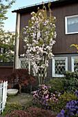 Prunus serrulata 'Amanogawa' (Säulen-Kirsche) im Vorgarten mit Rhododendron (Alpenrosen), Acer palmatum 'Dissectum' (Japanischer - Schlitzahorn)
