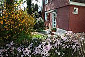 Clematis montana 'Rubens' (Berg-Waldrebe, Anemonen-Waldrebe) und Kerria japonica 'Pleniflora' (Ranunkelstrauch) im Vorgarten, weiße Bank, Haus mit roten Schindeln