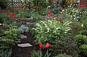 Frühlingsgarten : Dicentra spectabilis 'Alba' (Weißes Tränendes Herz), Tulipa (Tulpen), frisch ausgetriebene Stauden, Trittsteine im Rindenmulch