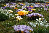 Frühlingswiese mit Crocus (Krokussen) und Galanthus (Schneeglöckchen)
