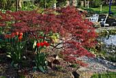 Acer palmatum 'Dissectum Garnet' (Roter Schlitzahorn), Tulipa 'Apeldoorn'