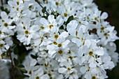 Exochorda macrantha 'The Bride' (Radspiere)