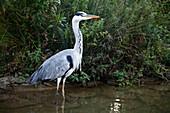 Ardea cinerea (Graureiher, Fischreiher) im Teich