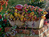 Erdbeerpflanzen (Fragaria) im Terracottakasten