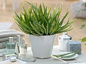 Aloe vera barbadensis 'Sweet Aloe' (Aloe)