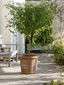 Enzianbaum (Solanum rantonnetii) zurückschneiden 1/3