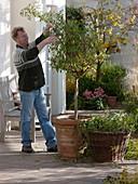 Enzianbaum (Solanum rantonnetii) zurückschneiden 2/3