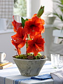Hippeastrum 'Royal Red' (Amaryllis)