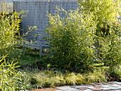 Phyllostachys bissetii (Bambus)