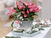 Weihnachtlich geschmückter Weihnachtskaktus mit Abies procera