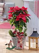 Euphorbia pulcherrima (Weihnachtsstern) als Stamm in Henkelkorb