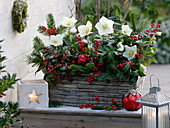 Helleborus niger 'Christmas Star Princess' (Christrosen), Gaultheria