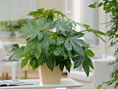 Fatsia japonica (Zimmeraralie, Japanaralie)