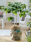 Coffea arabica (Kaffeebaum) im Kaffeesack