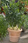 Knollensellerie (Apium graveolens var. rapaceum) in Terracottatopf