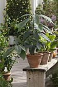 Avocado - Bäumchen (Persea americana) in Terracotta - Topf auf Holzbank