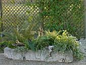 Steintrog mit Schattenbepflanzung : Polystichum setiferum 'Dahlem'