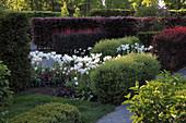 Heckenlabyrinth mit Tulipa (Tulpen), Hecken aus Berberis thunbergii 'Atropurpurea' (Berberitze), Spiraea x cinerea (Spierstrauch), Wege mit Kies