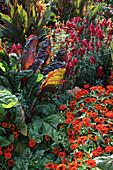 Sommerblumenbeet mit Beta vulgaris 'Rhubarb Chard' (Mangold), Zinnia elegans 'Lancelot Orange' (Zinnien), Antirrhinum (Löwenmäulchen), Canna (Indisches Blumenrohr)