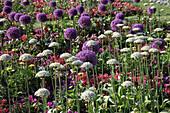 Allium 'Globemaster' (Zierlauch, Kugellauch), Allium nigrum (Schwarzer Lauch) zwischen Sommerblumen