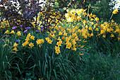 Hemerocallis 'Stella d'Oro' (Taglilien), Centaurea montana (Flockenblume), unter Physocarpus opulifolius 'Diabolo' (Blasenspiere)