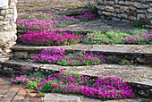AUBRIETA FLOWING DOWN WEATHERED STONE STEPS BETWEEN WALL of NATURAL STONE. MR & Mrs STYLES' Garden, OXON.