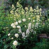 Rosa MARGARET MERRIL, CENTRANTHUS RUBER ALBUS, HESPERIS MATRONALIS 'FLORE PLENO'. HADSPEN Garden, SOMERSET.