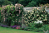 ROSES GROWING On TRELLIS at MEADOW PLANTS, BERKS. (L TO R) 'CLAIR MATIN', 'GARDENIA', 'FRANCOIS JURANVILLE'.