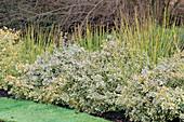 EUONYMUS 'Silver Queen' & CORNUS STOLONIFERA 'FLAVIRAMEA' UNIVERSITY BOTANIC Garden, CAMBRIDGESHIRE