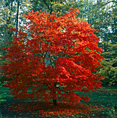 BRILLIANT Red JAPANESE Maple IN AUTUMN. WESTONBIRT ARBORETUM, Gloucestershire