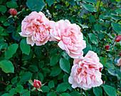 ROSE 'ALBERTINE'. LOWER HALL Garden, SHROPSHIRE