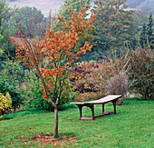 Acer MICRANTHUM Beside an AFRICAN HARDWOOD BENCH Made by NICHOLAS HODGES BROOK Cottage
