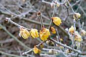 CHIMONANTHUS PRAECOX (Winter Sweet)