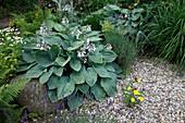Kiesgarten mit Hosta sieboldiana (Blaublatt-Funkie), Lavandula (Lavendel), Oenothera (Nachtkerze), Tanacetum (gefülltes Mutterkraut),Farne, Gräser, Steine