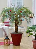 Weihnachtliche Phoenix roebelenii (Zwergdattelpalme) im roten Übertopf
