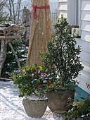 Ilex aquifolium (Stechpalme) und Skimmia reeversiana (Fruchtskimmie)