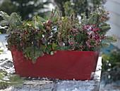 Roter Balkonkasten mit Gaultheria 'Winter Pearls' (Scheinbeere), Pernettya
