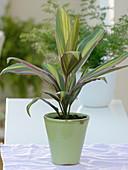 Cordyline 'Kiwi' (Keulenlilie) mit gestreiften Blättern
