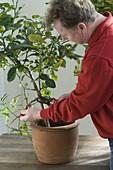 Mann schneidet Wildtrieb von Citrus hystrix (Kaffirlimette)