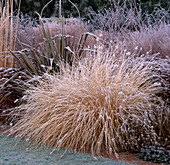 GRASS BORDER IN Frost: PHORMIUM, PENNISETUM ALOPECUROIDES. THE Old VICARAGE, Norfolk